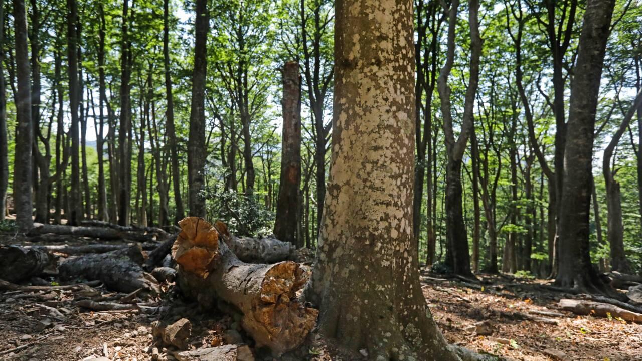 La hêtraie de la Massane, une forêt inexploitée par l'homme classée à l'Unesco
