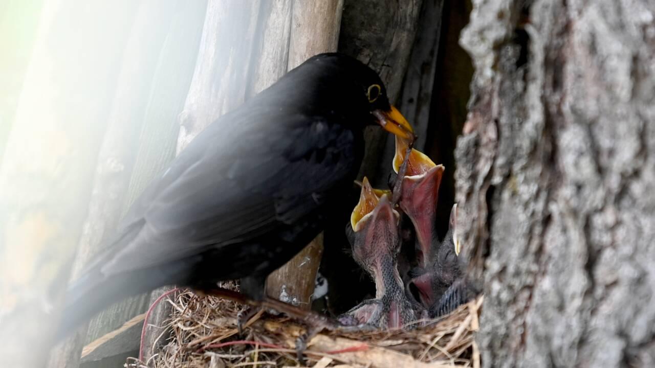 Des chasses traditionnelles d'oiseaux deviennent illégales