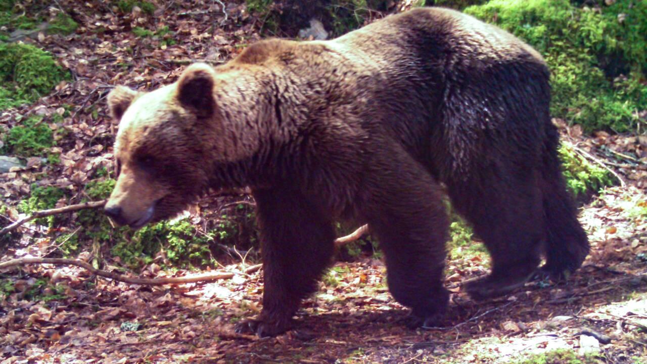 """Ariège : des associations pro-ours dénoncent une """"hystérie collective"""" après la charge d'un berger"""