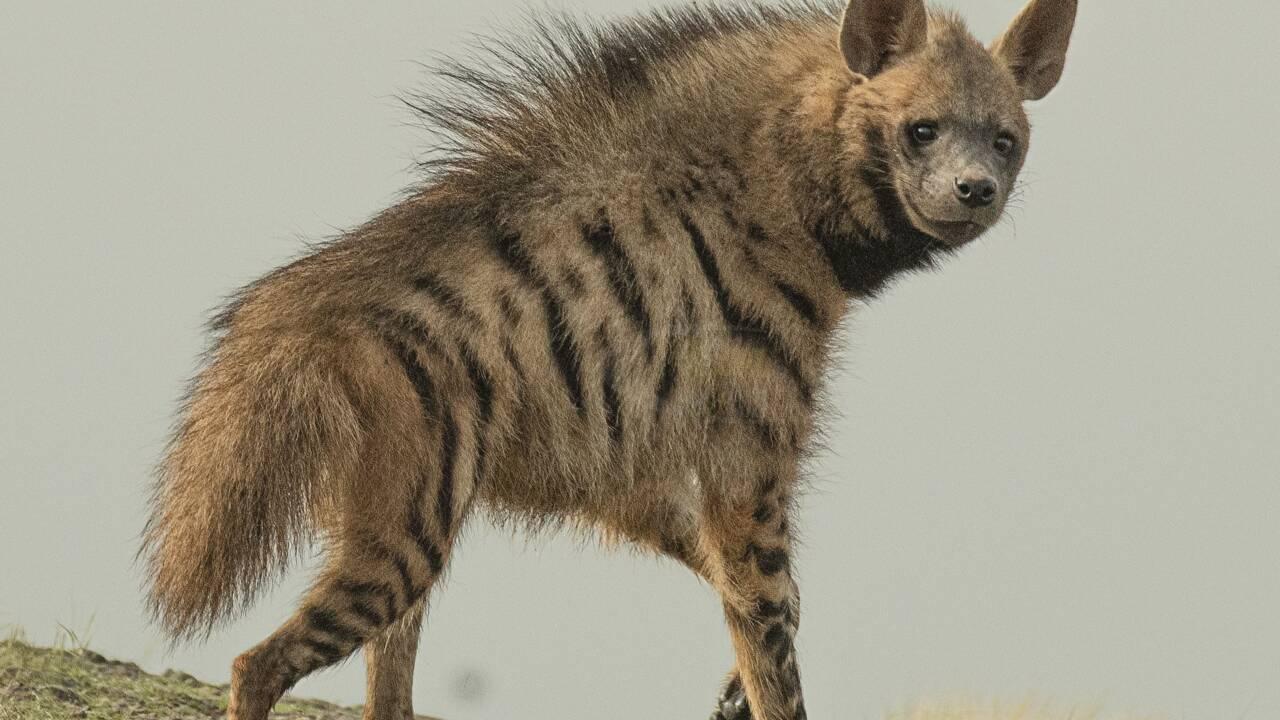 Des milliers d'ossements accumulés par des hyènes trouvés dans un tunnel de lave en Arabie saoudite
