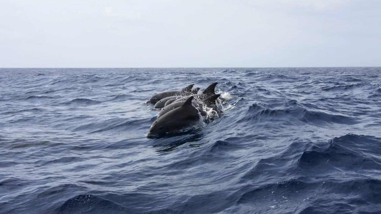 Depuis la pandémie, les dauphins font leur retour dans le Tage à Lisbonne