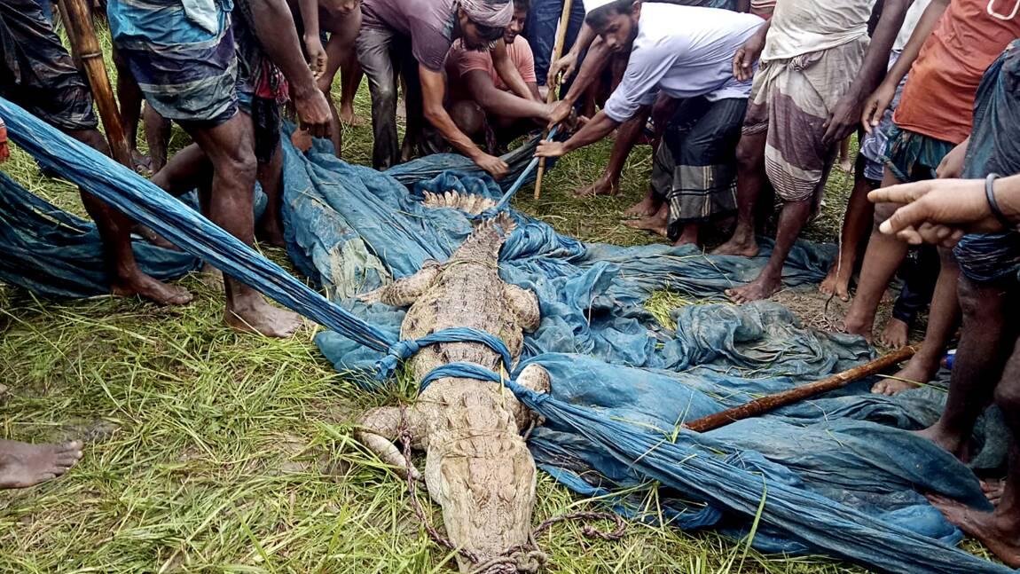 Découverte d'un crocodile des marais au Bangladesh, une espèce éteinte dans le pays