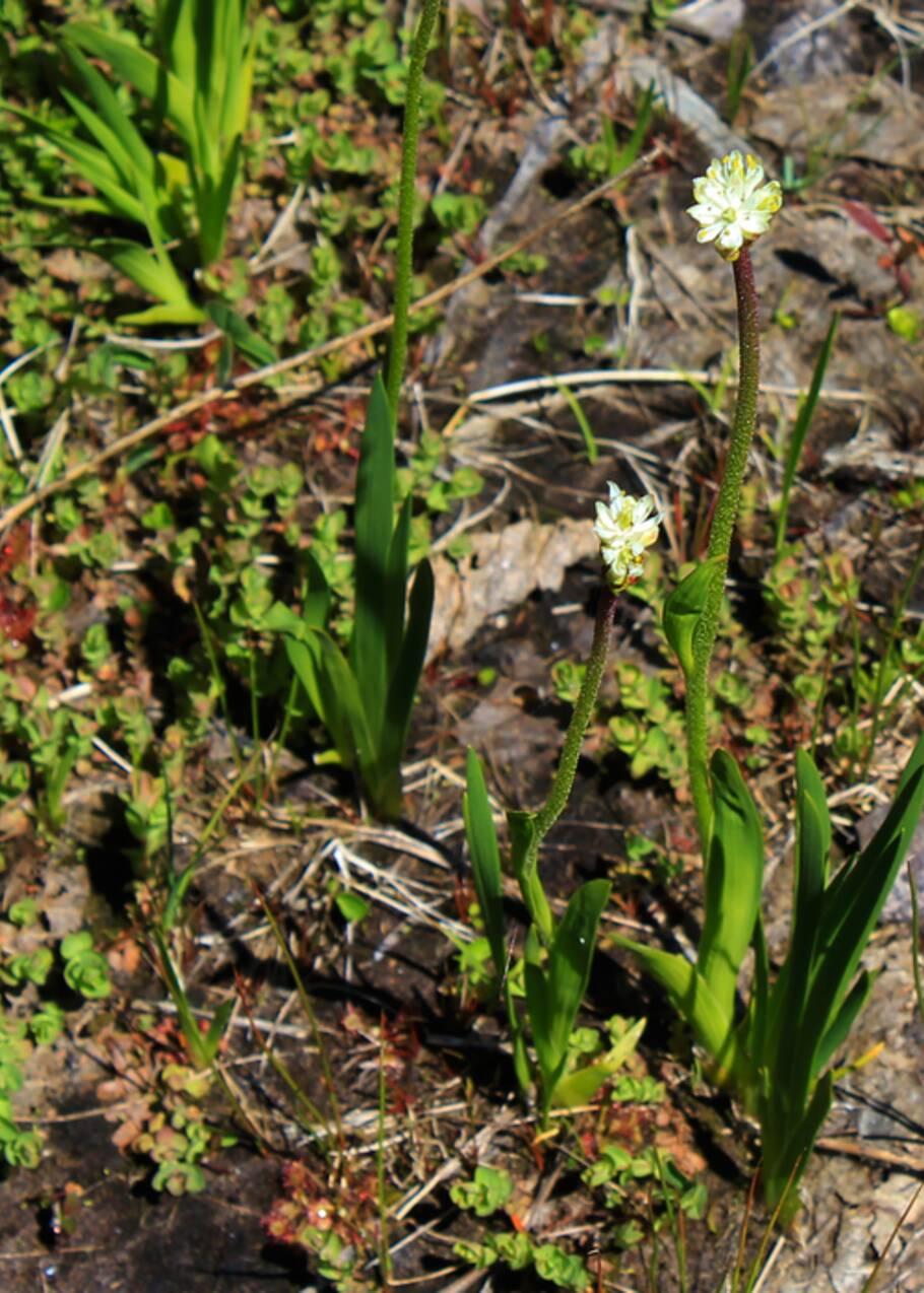 Ces délicates fleurs blanches cachent en réalité une plante carnivore selon une étude