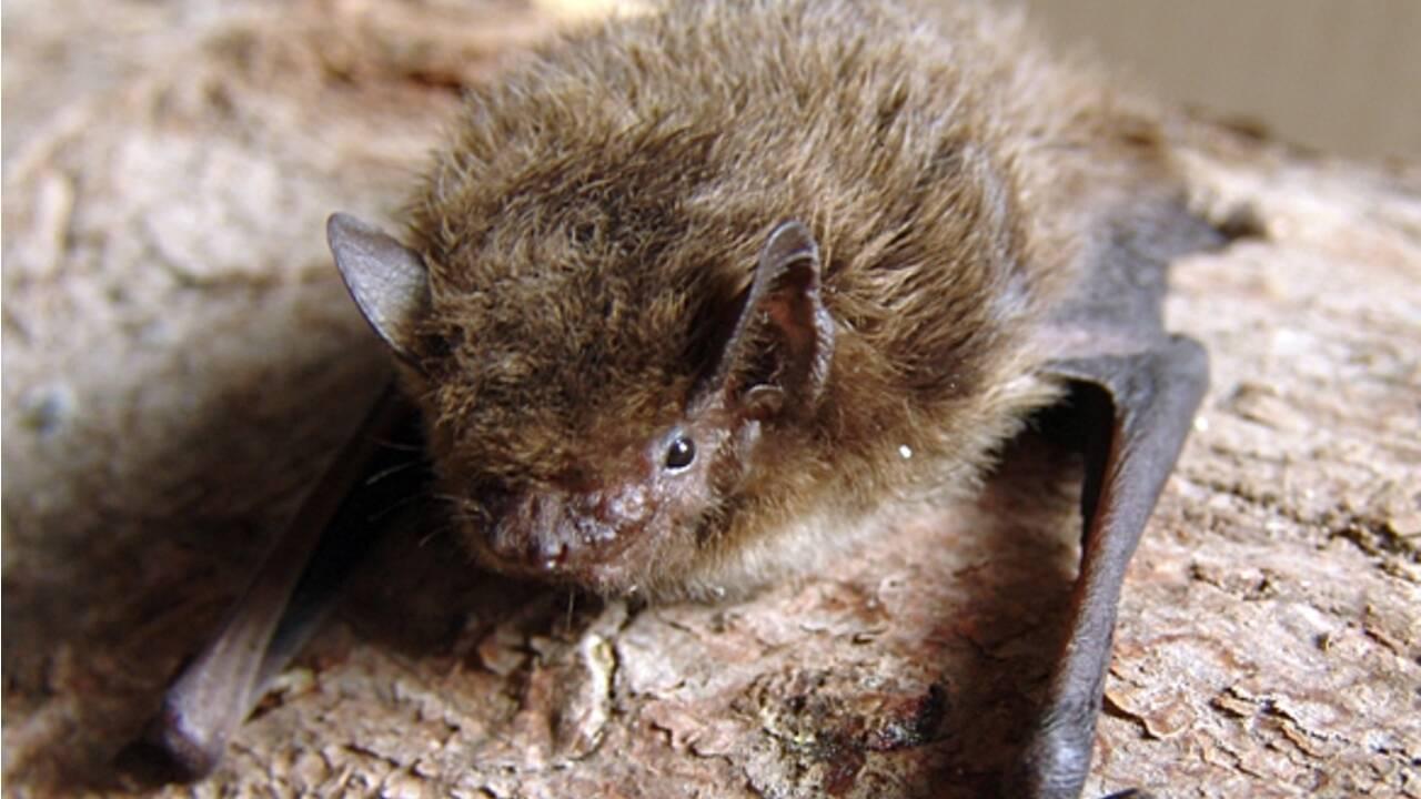 Une chauve-souris bat un record de vol jusqu'en Russie et finit... tuée par un chat
