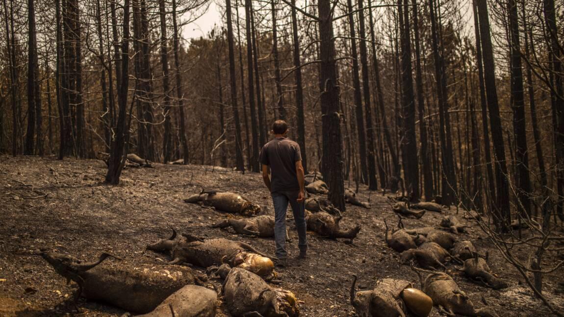 """""""Je suis perdu"""" : en Grèce, les éleveurs hébétés face à leurs troupeaux brûlés"""