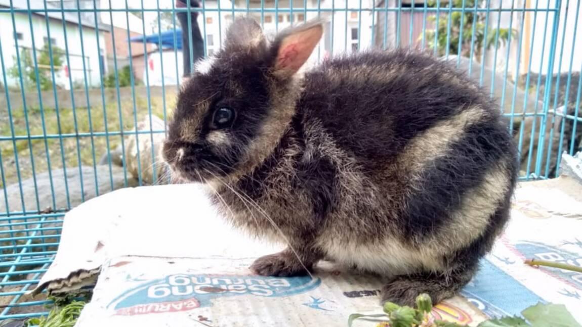 Le lapin le plus rare au monde secouru à Sumatra après avoir été repéré sur Facebook