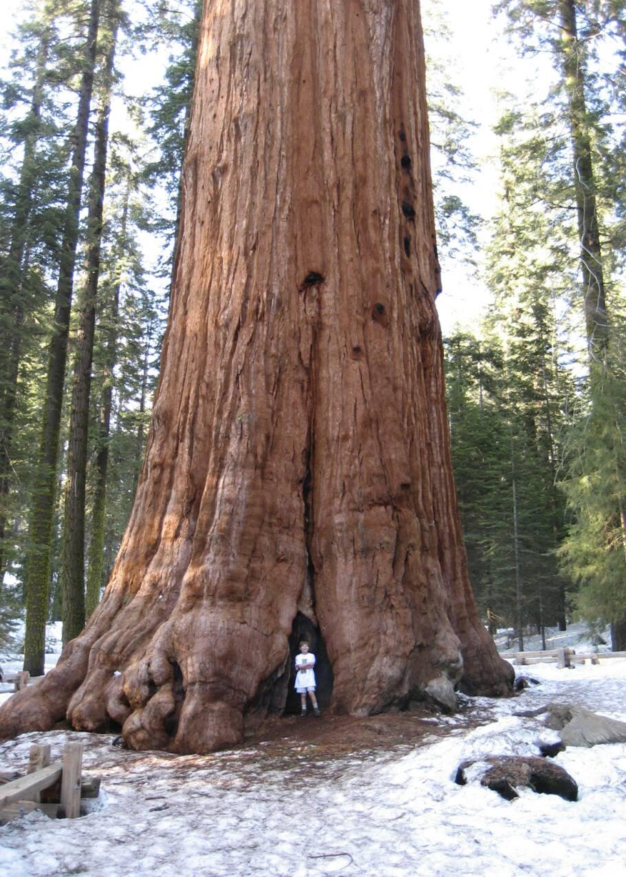 Le séquoia géant, une merveille végétale aux dimensions vertigineuses