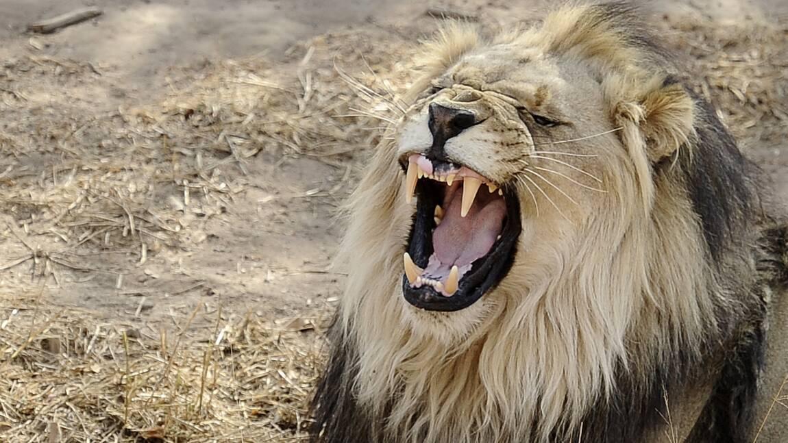 Afrique du Sud: trafic de dents et griffes de lions démantelé, un Vietnamien arrêté