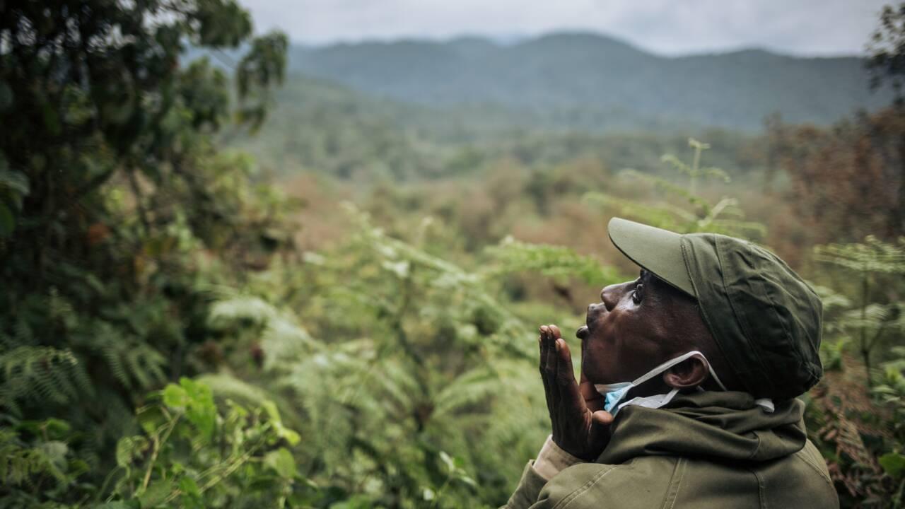 RDC: le parc de Kahuzi-Biega se réjouit de la naissance d'un bébé gorille
