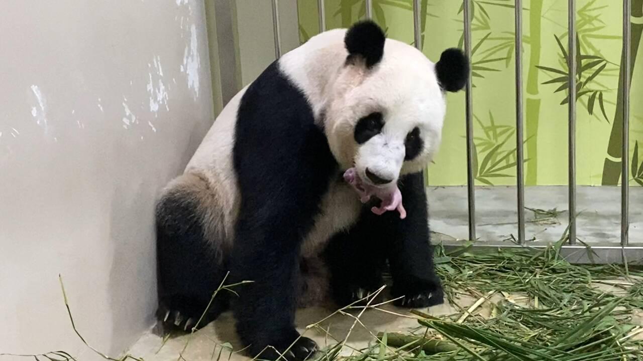 Un panda est né au zoo de Singapour après une insémination artificielle