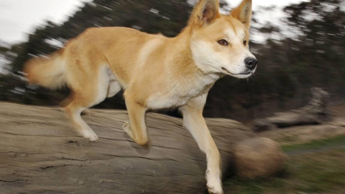 Des images inédites révèlent la vie secrète d'un dingo en Australie