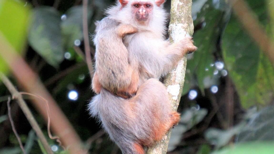 Une nouvelle espèce de ouistiti identifiée en Amazonie brésilienne