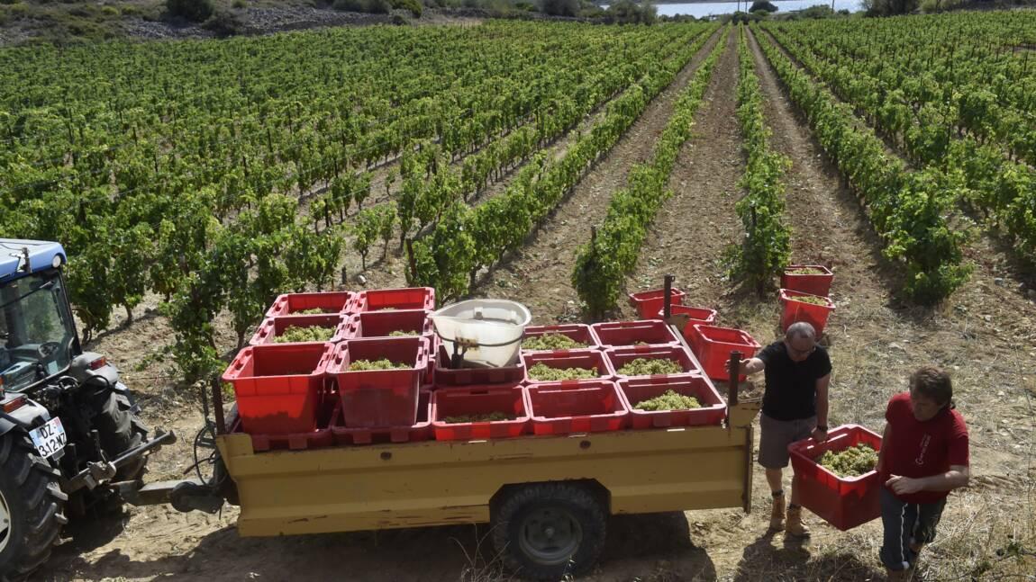 Pour le vin français, une course contre la montre pour s'adapter au changement climatique