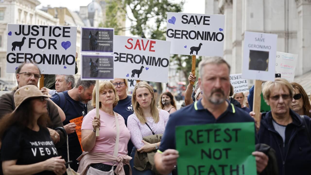 L'alpaga Geronimo, qui a ému les Britanniques, condamné à mourir