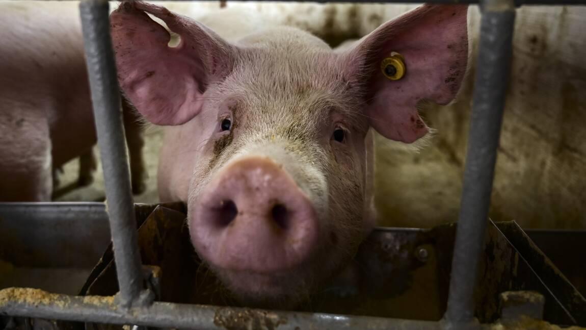 Maltraitance animale : images et témoignage choc de L214