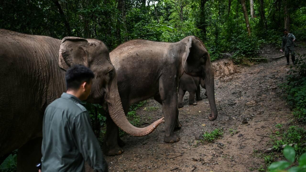 En Chine, une cohabitation compliquée entre les éléphants et les villageois