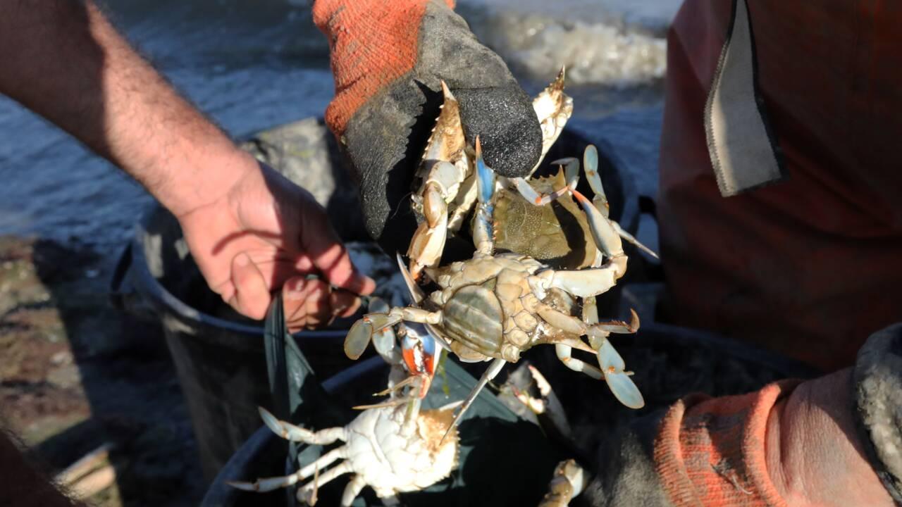 Craintes face à la prolifération du crabe aux pinces bleues près de Perpignan