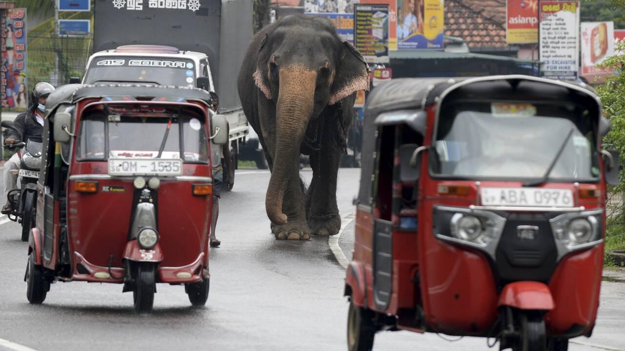 Au Sri Lanka, pas de conduite d'éléphants en état d'ivresse