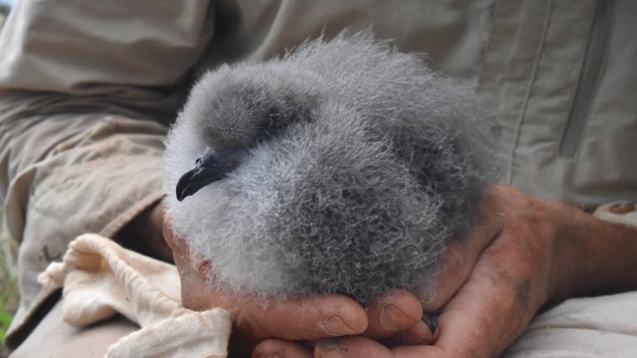 Sur cette île australienne, de redoutables mille-pattes géants s'attaquent à des bébés oiseaux