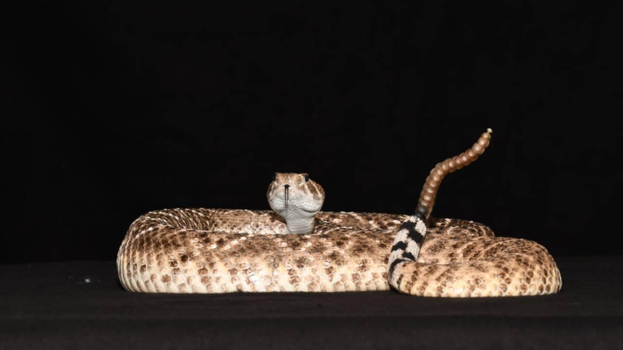 Comment les serpents à sonnette trompent les humains pour faire croire qu'ils sont proches