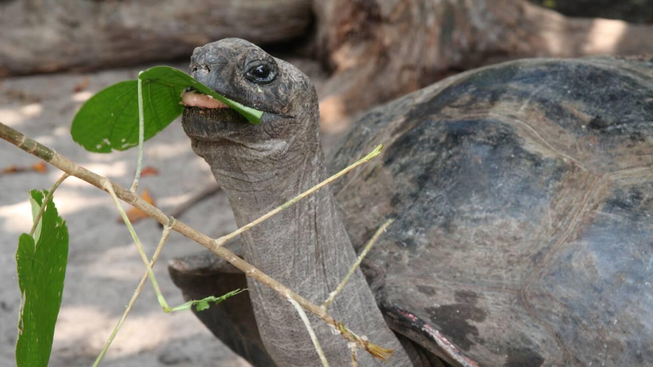 Une tortue géante des Seychelles filmée pour la première fois en train de dévorer un oiseau