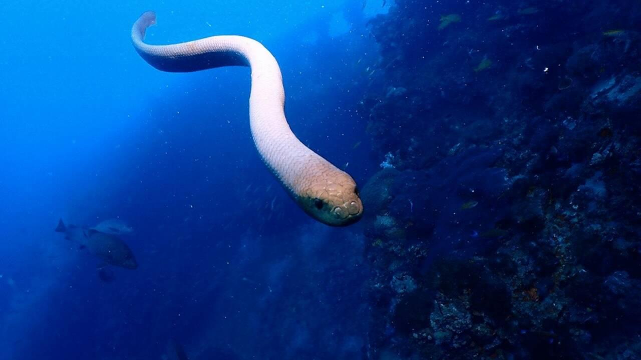 Les serpents de mer qui s'attaquent aux plongeurs pourraient juste être en quête d'une partenaire