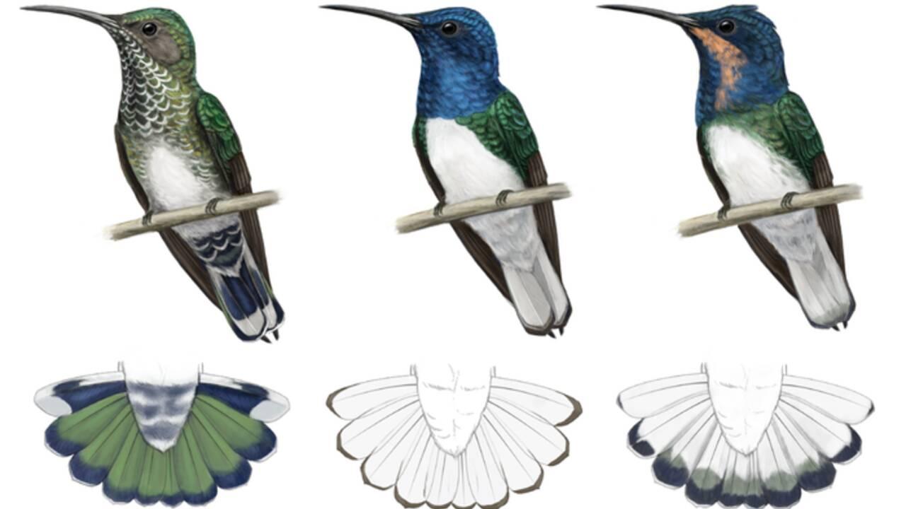 Chez ces colibris, les femelles se déguisent parfois en mâles pour éviter d'être agressées