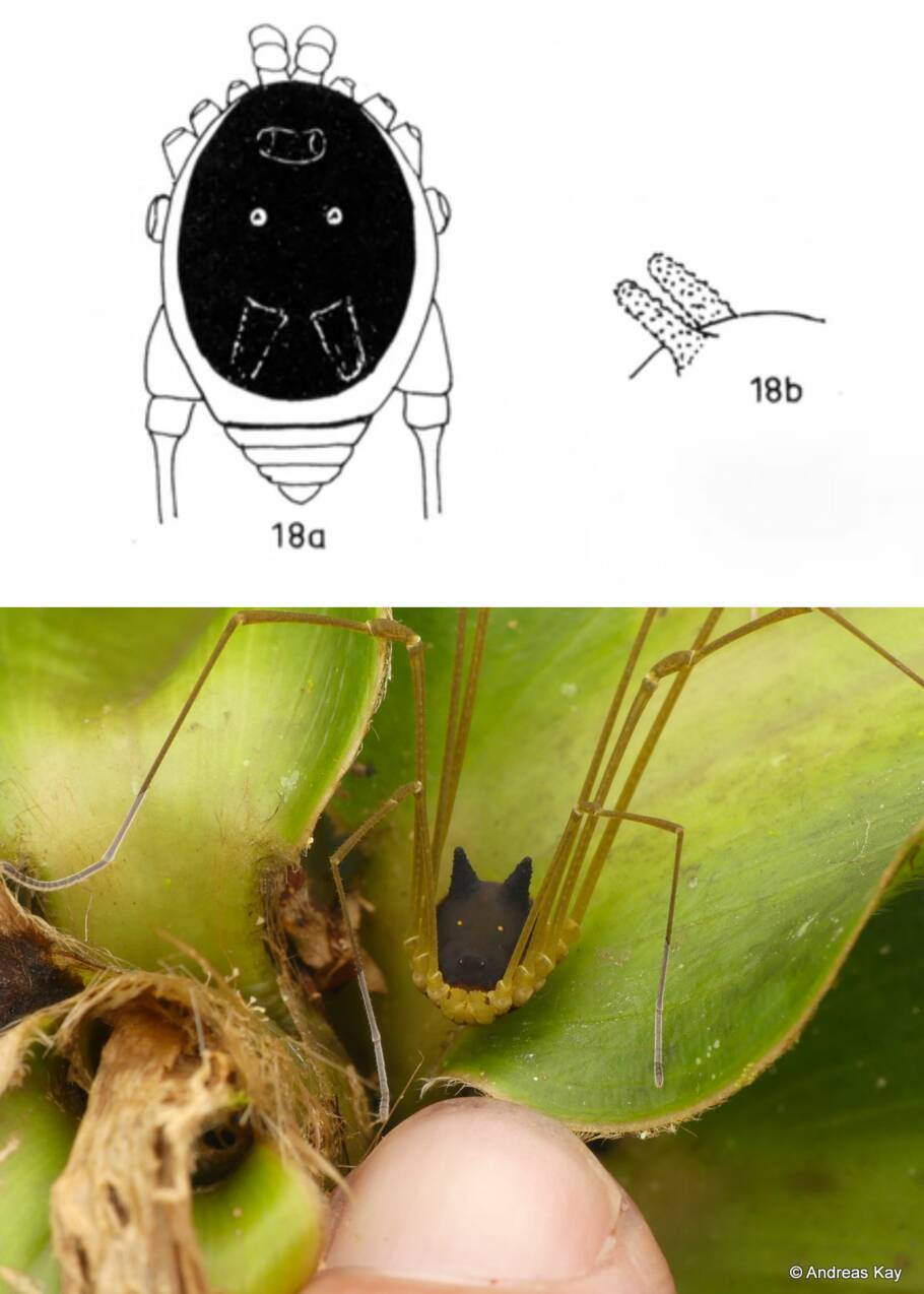 """L'arachnide équatorien qui exhibe une étrange """"tête de lapin"""""""