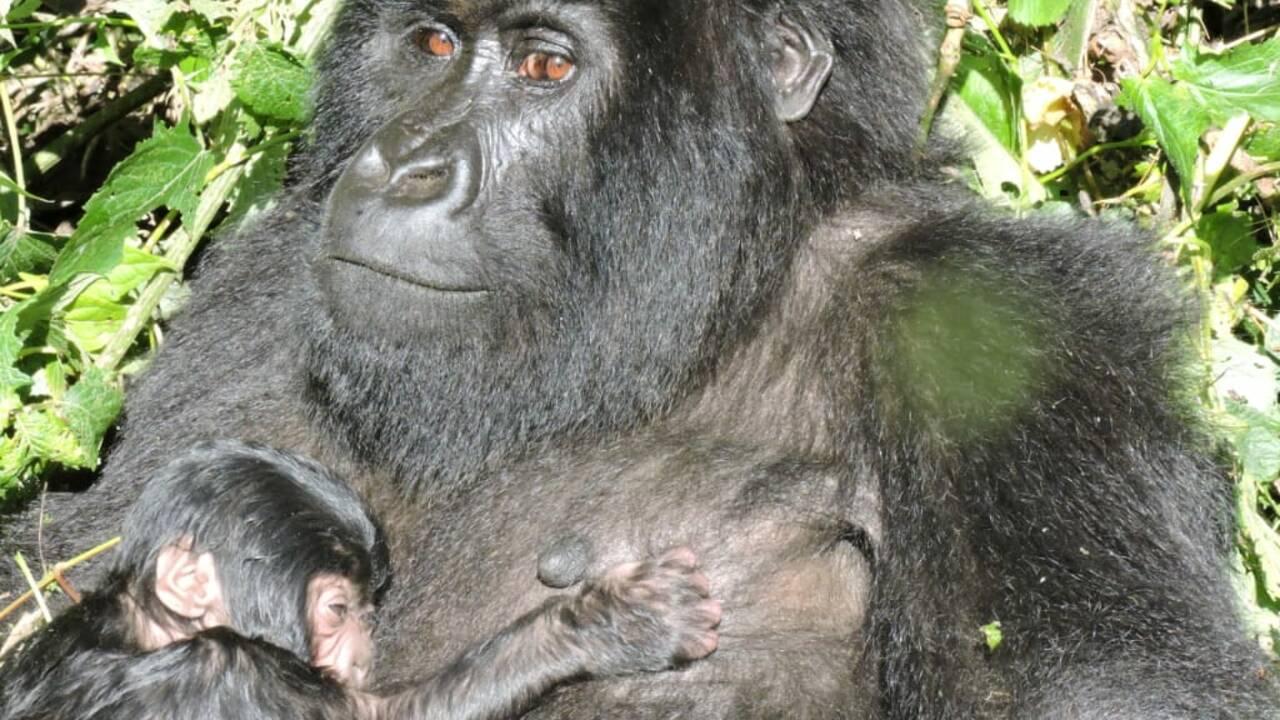 RDC: nouvelle naissance de gorille de montagne au parc des Virunga
