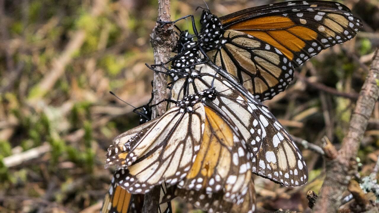 Dans les jardins canadiens, à la recherche des œufs de monarque