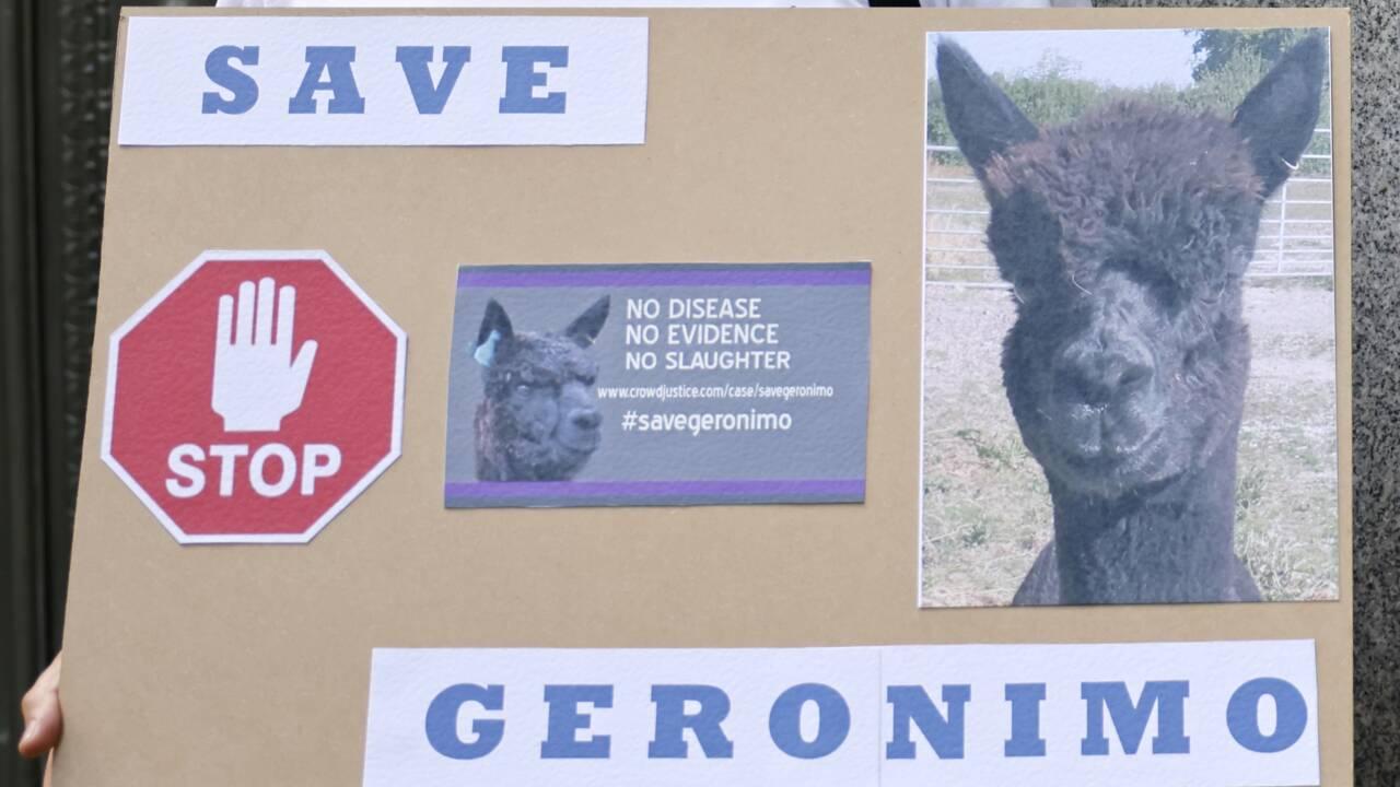 Il avait ému les Britanniques, l'alpaga Geronimo a été euthanasié