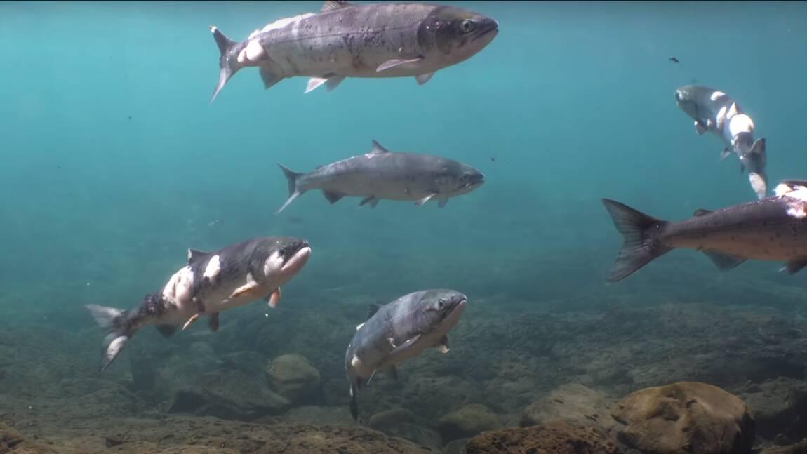 Aux Etats-Unis, des saumons meurent brûlés par la chaleur de l'eau