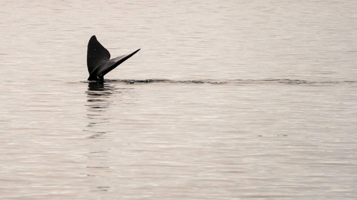 Etats-Unis : de nouvelles restrictions pour lutter contre la disparition des baleines
