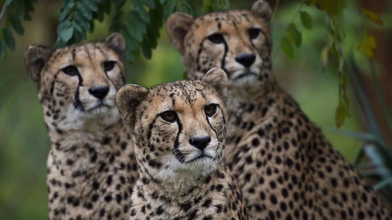 """UICN: pour les lions et guépards, une """"liste rouge"""" pas si protectrice"""
