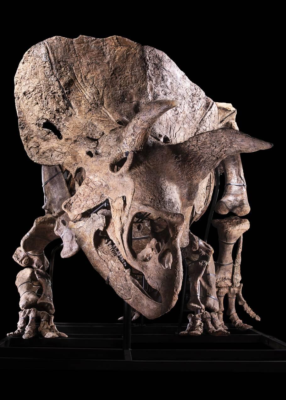 Big John, le plus grand tricératops jamais exhumé s'expose à Paris avant d'être vendu