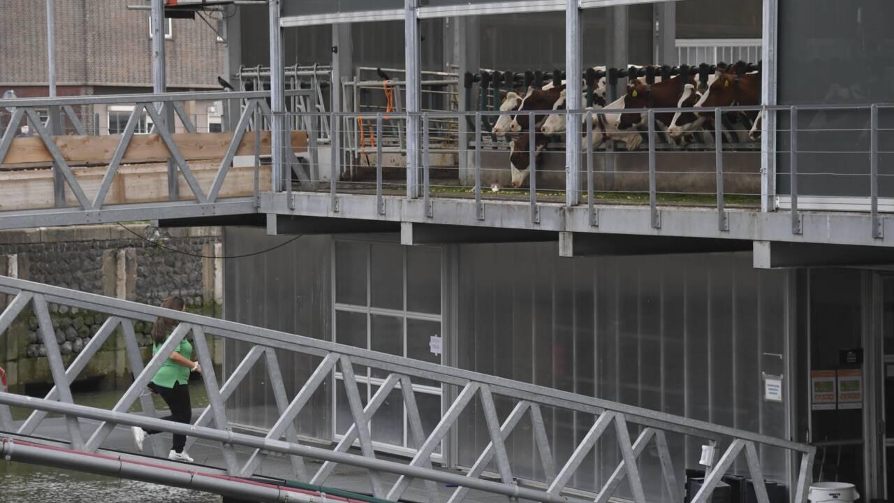 A Rotterdam, les vaches flottent sur l'eau pour protéger le climat