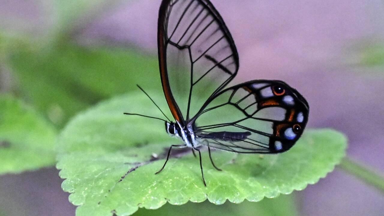 En Colombie, recenser la multitude colorée des papillons