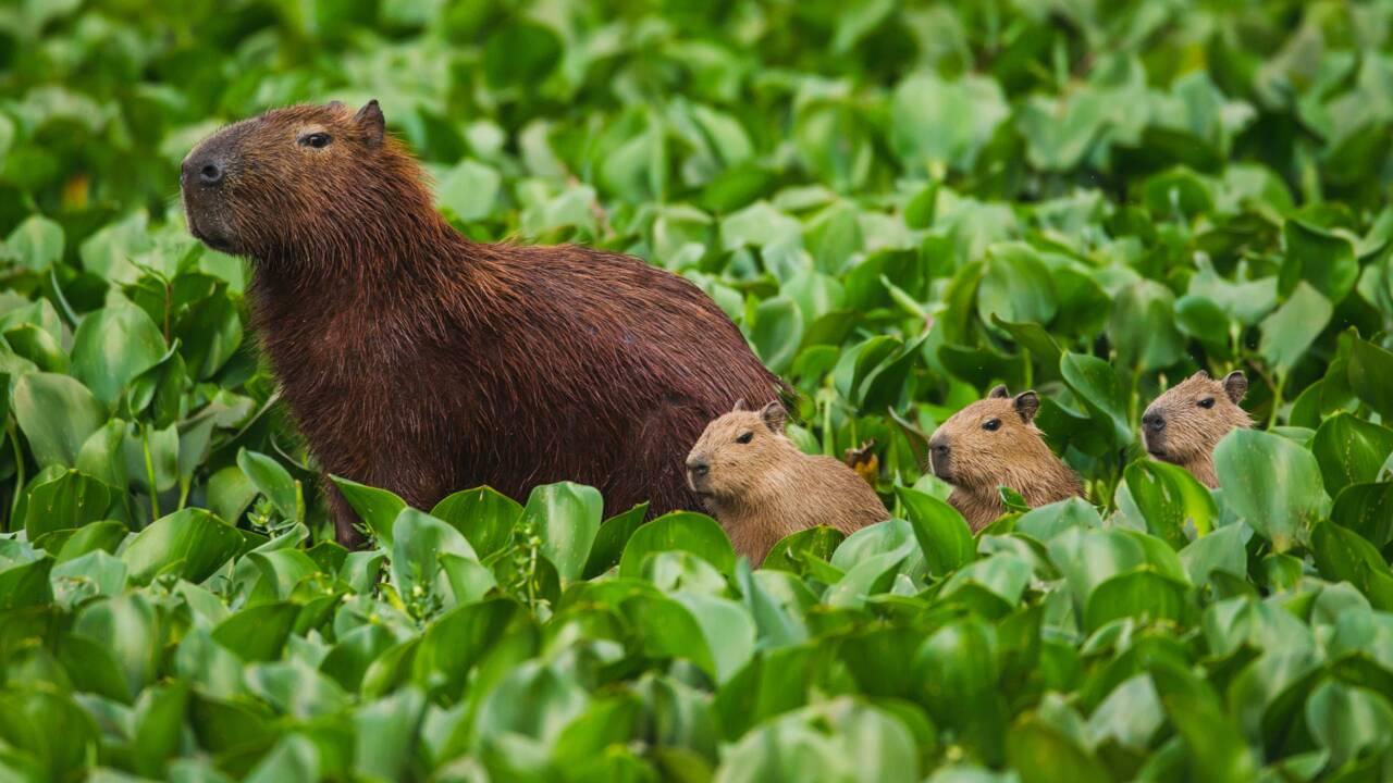 En Argentine, des centaines de capybaras ont envahi un quartier construit sur leur habitat