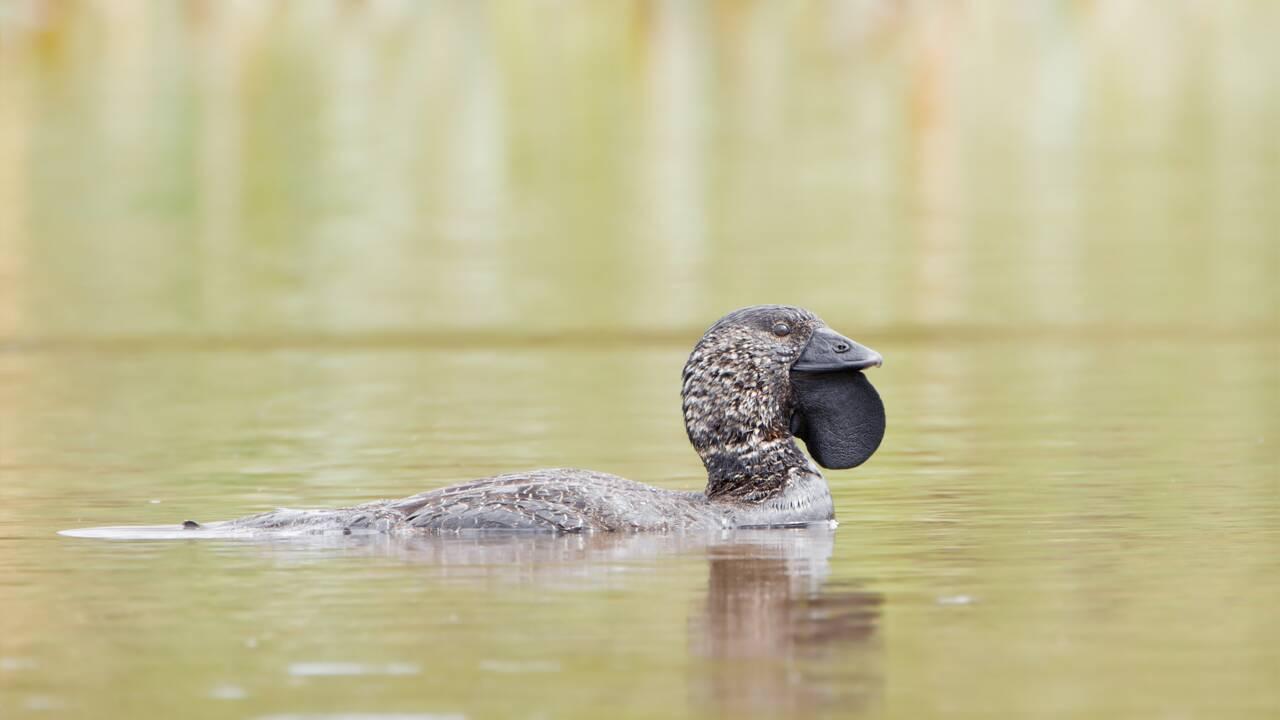 Ces canards australiens sont capables d'imiter des sons y compris la voix humaine