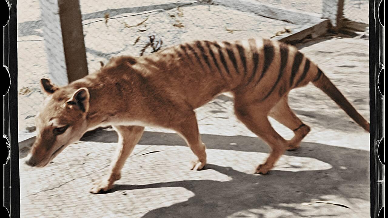 Des images colorisées pour donner un meilleur aperçu du tigre de Tasmanie, espèce disparue