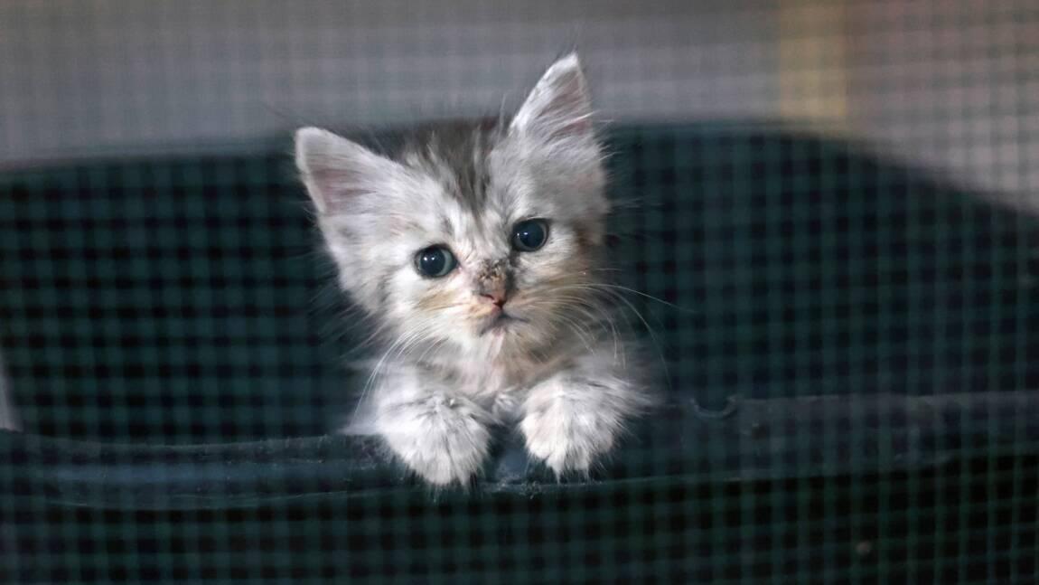 Abandons des chats en nette hausse cet été, surtout des chatons