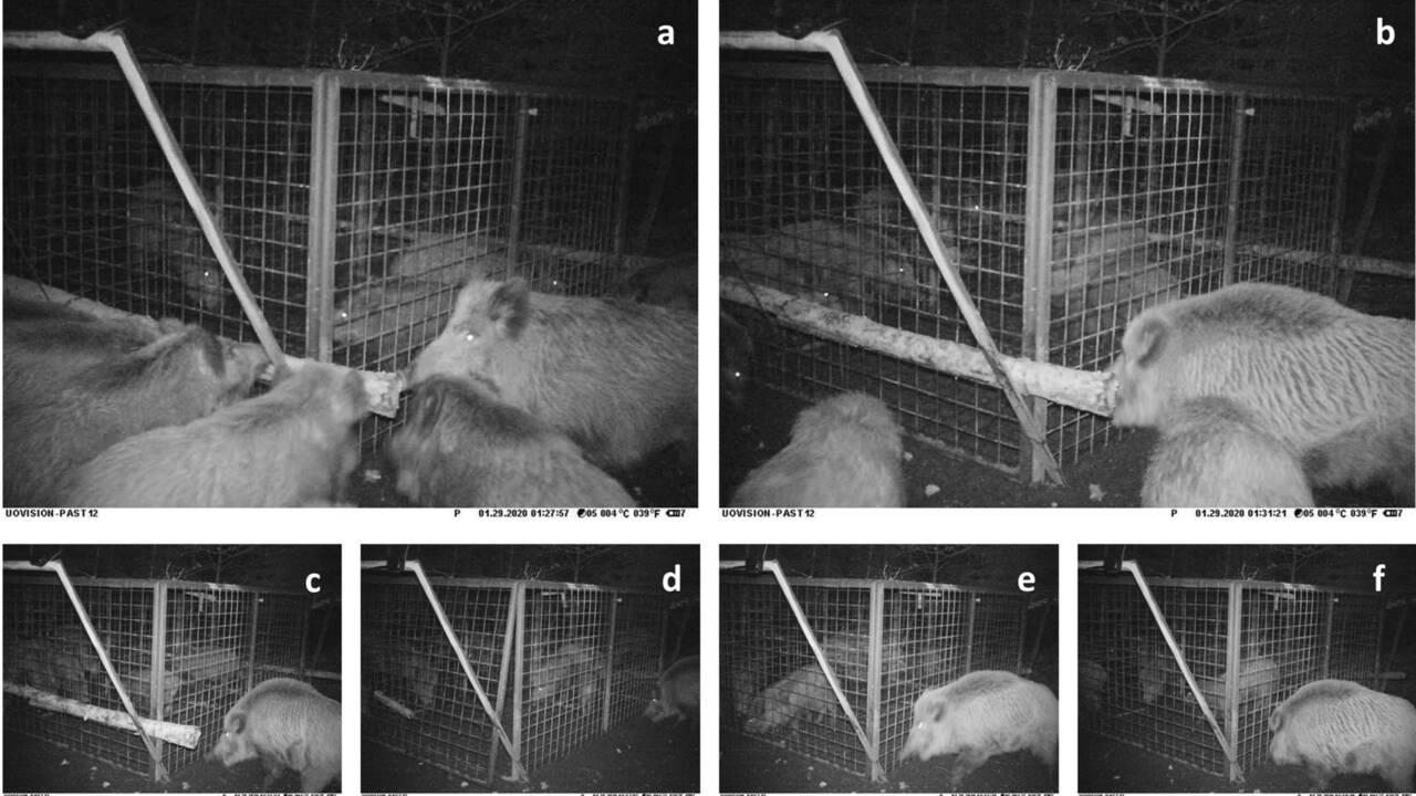 Des sangliers surpris à secourir deux jeunes congénères piégés dans une cage