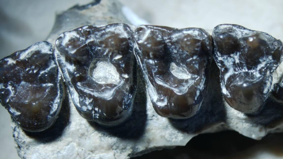 Le premier cas de carie dentaire chez un mammifère découvert sur un primate vieux de 54 millions d'années