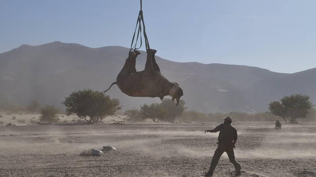 Transporter un rhinocéros la tête en bas est-il dangereux ? Une étude insolite remporte un Ig Nobel
