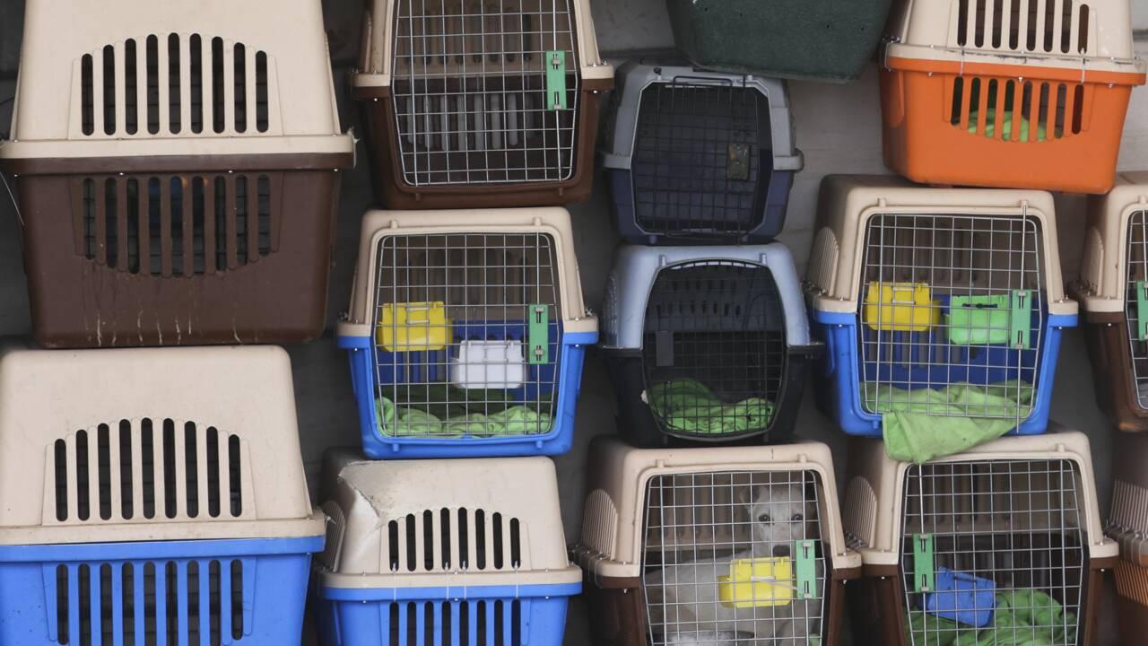 Abandonnés à leur sort, les chiens de l'aéroport de Kaboul se reprendront du service