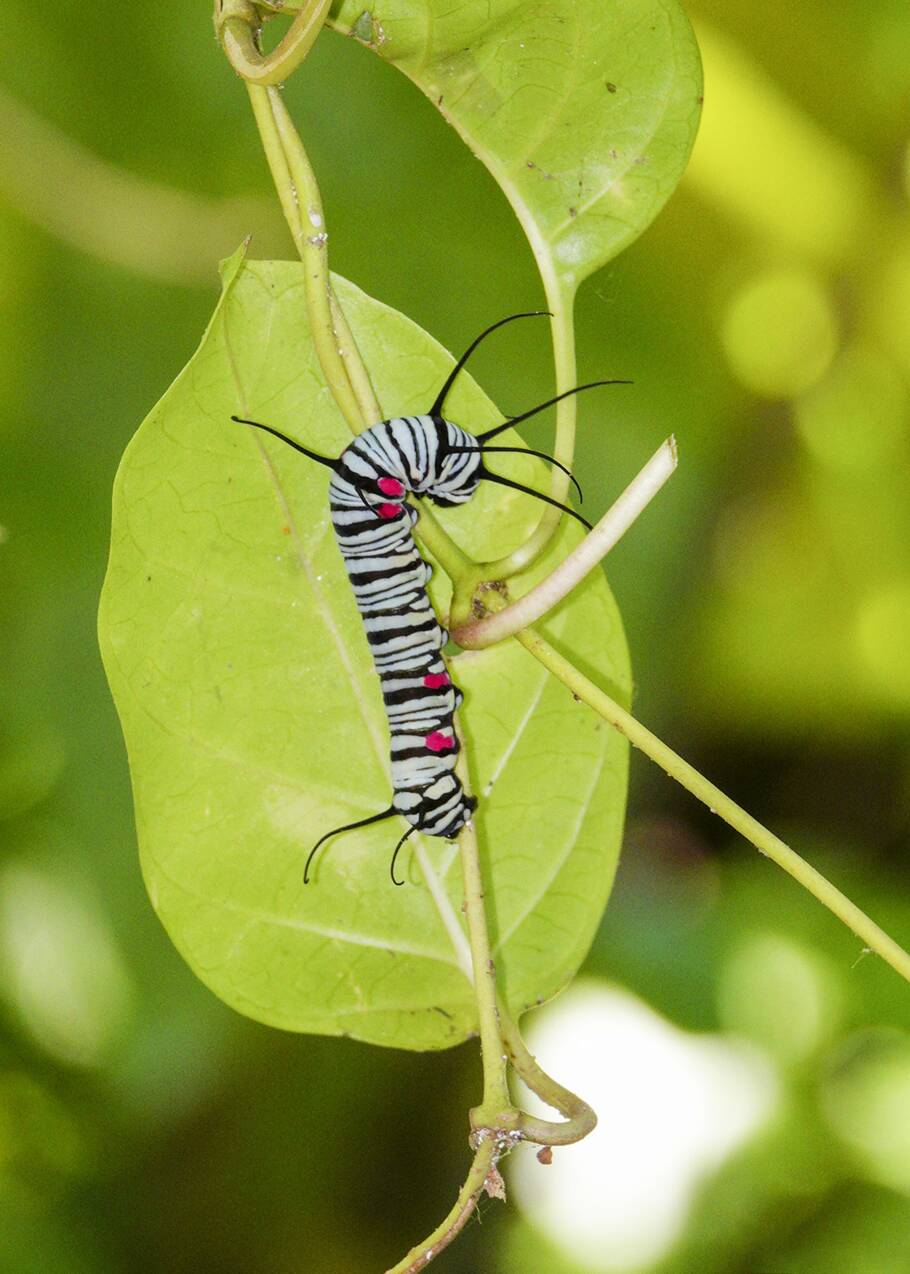 Ces papillons s'attaquent à des chenilles pour siroter leurs substances toxiques