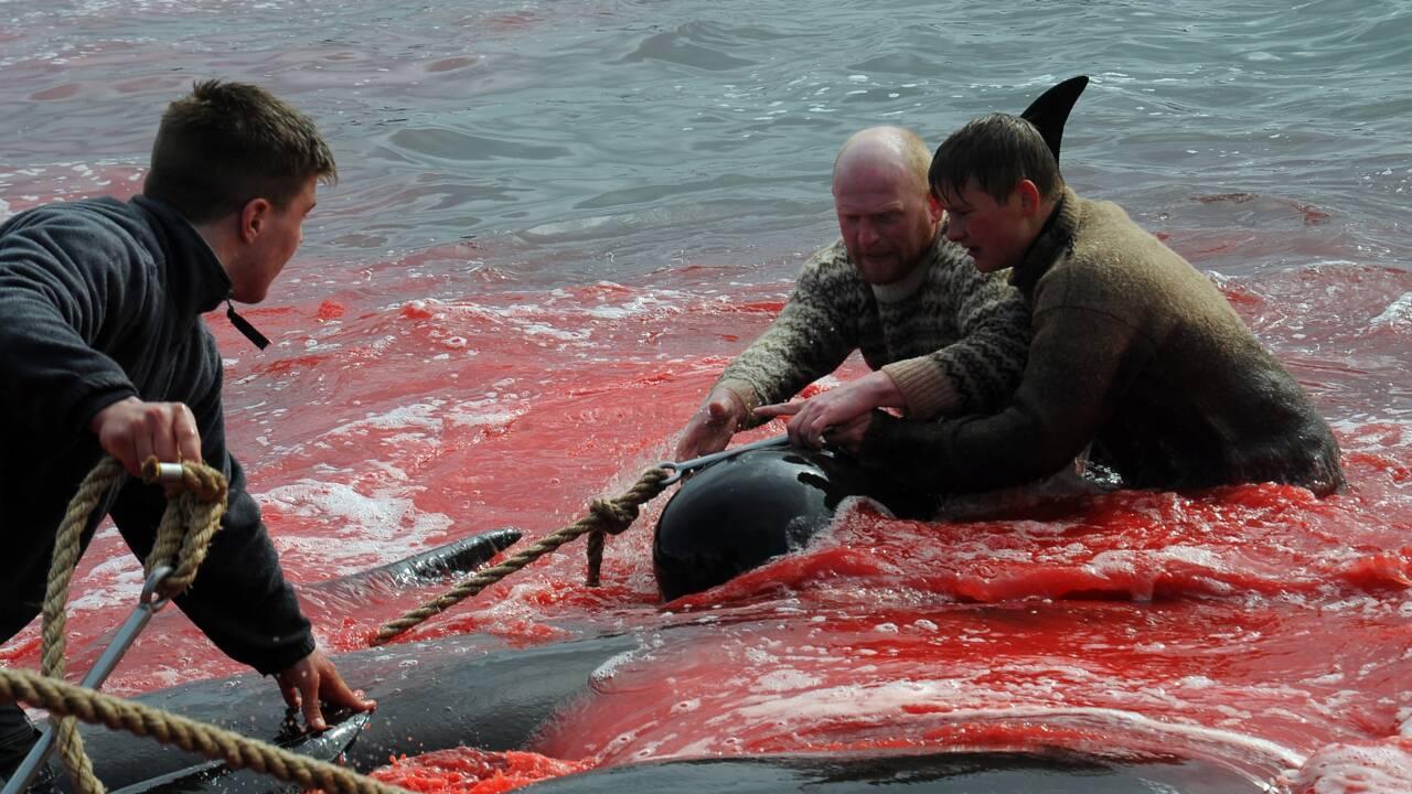 îles Feroé : mise à mort de 1.400 cétacés lors d'une chasse traditionnelle