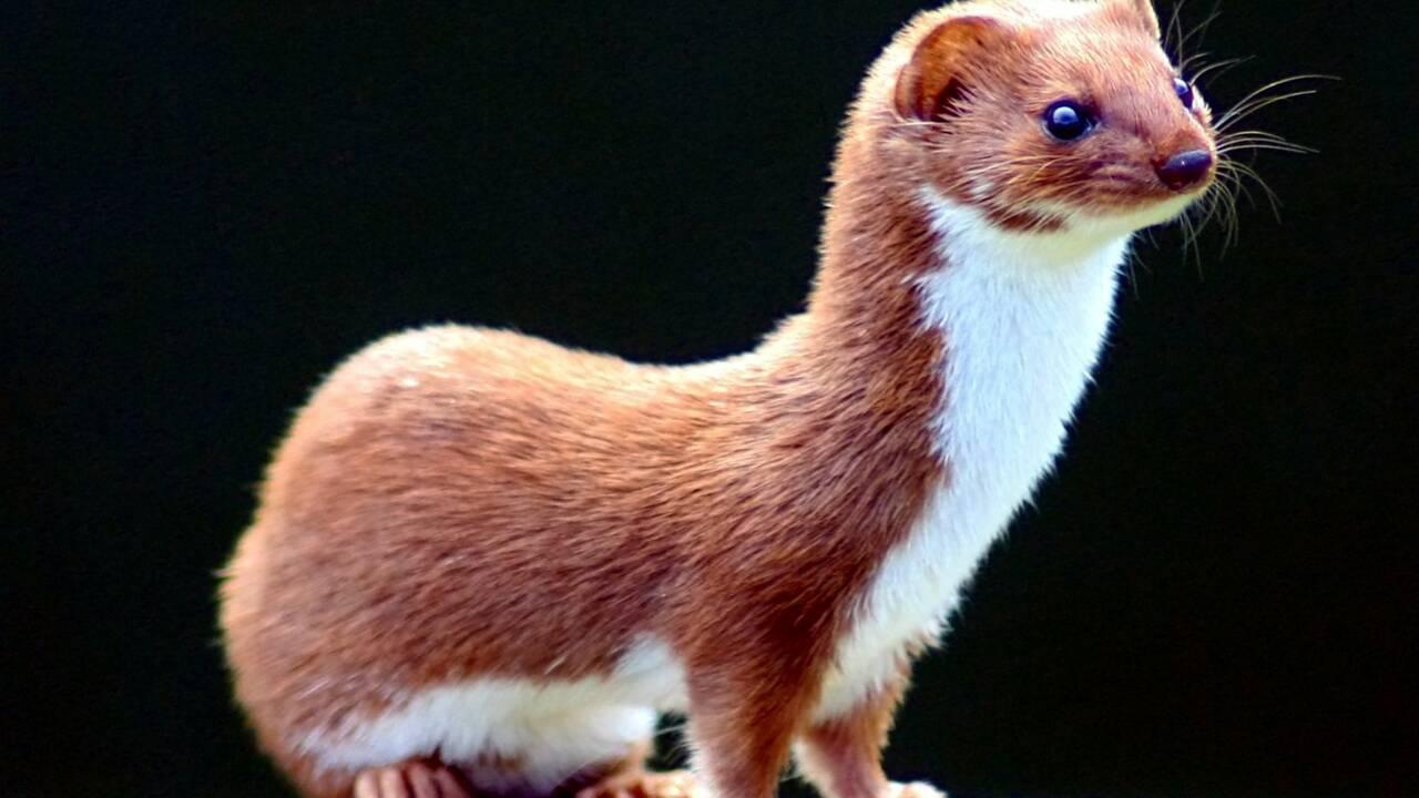 La belette, un redoutable carnivore miniature qui a inspiré le super-vilain d'un film