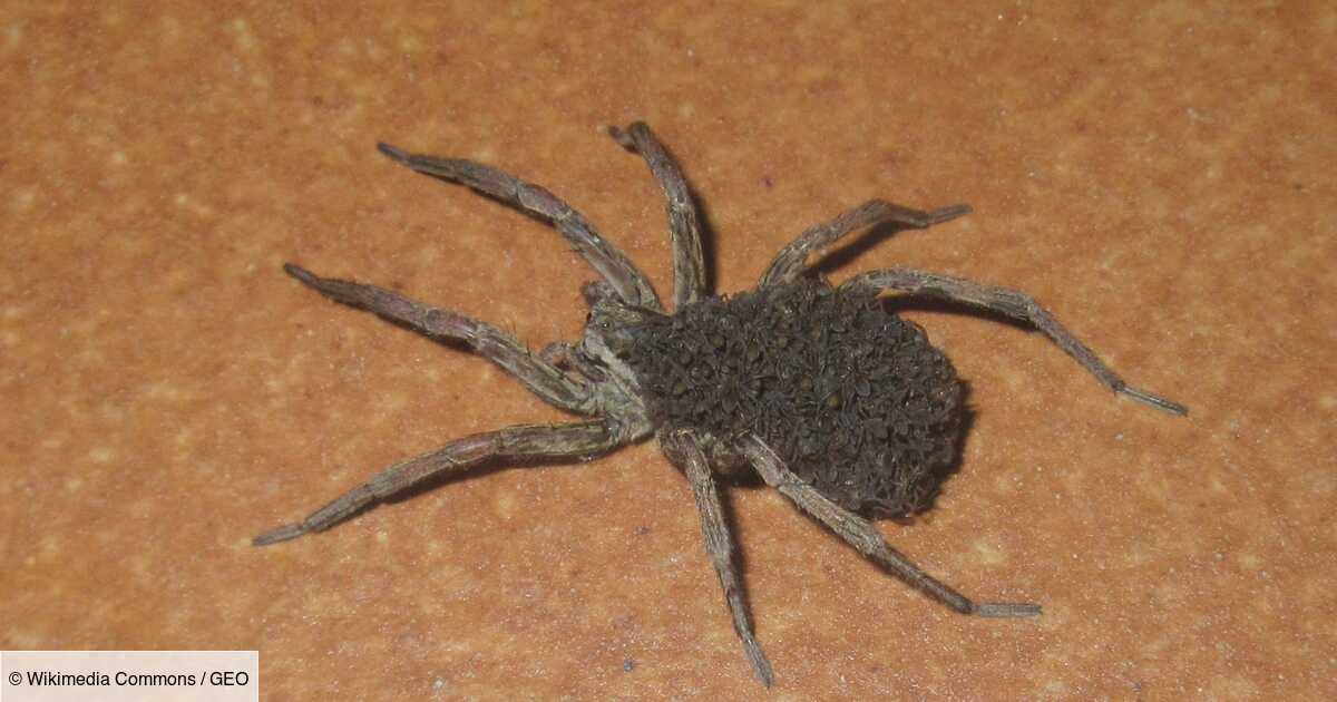 Faut-il craindre l'araignée-loup et les œufs qu'elle transporte sur son corps ?