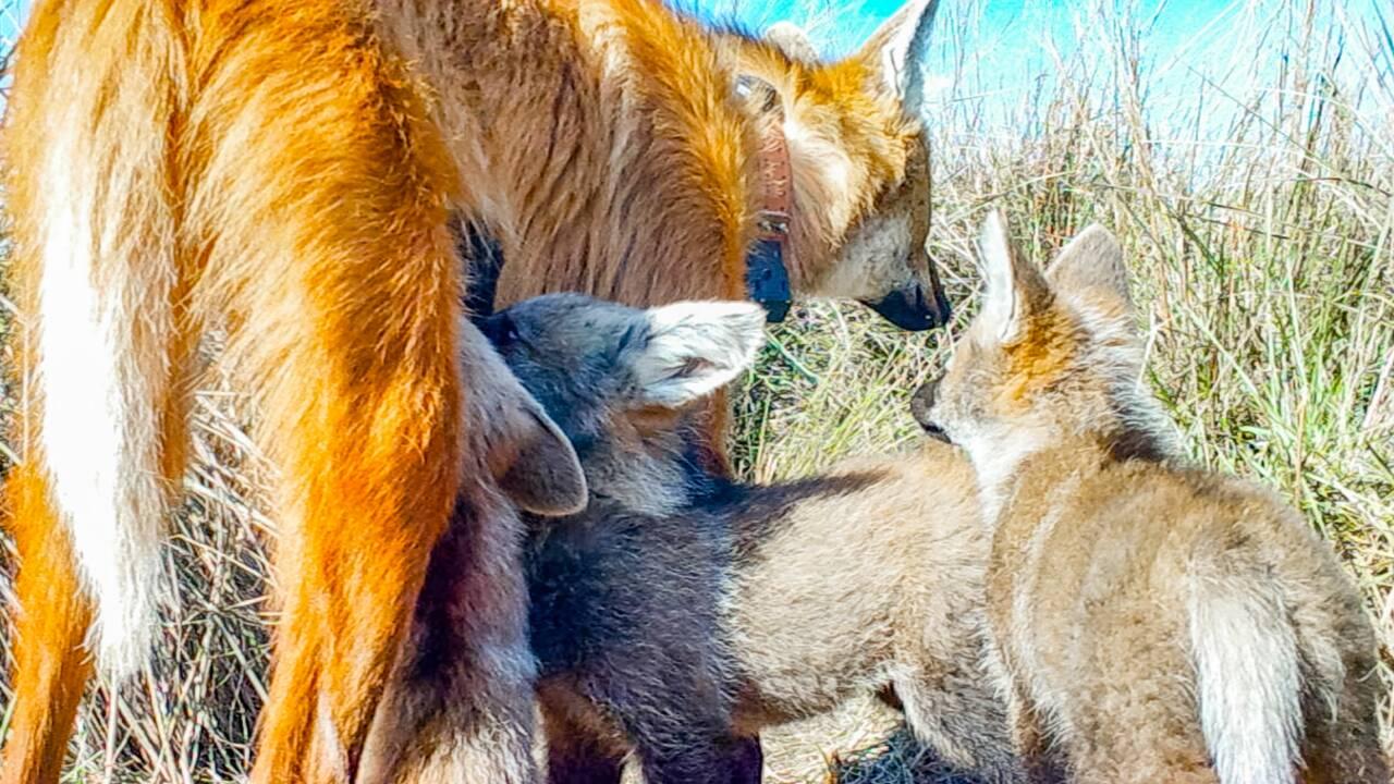 De rares images d'une louve à crinière avec ses petits capturées en Argentine